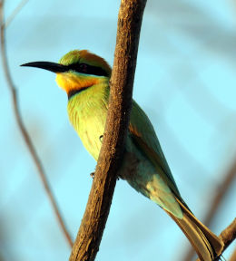 Rainbow Bee Eater front view