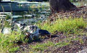 Crocodile basking beside road