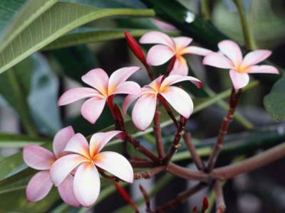 Another one of the best smells in the world,<br> Frangipani Blossom