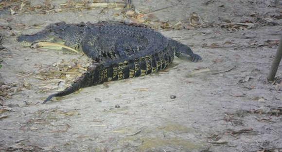 crocodile in spotlight