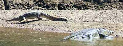 a smaller freshwater croc moves away from a medium sized saltie.