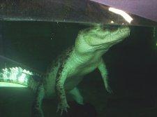 underwater crocodile
