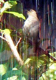 a warbler enjoys a dip under a garden sprinkler
