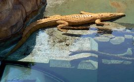 Crocodile at Crocosaurus Cove