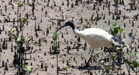 White Ibis in mangroves