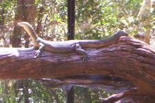 Australian Goanna
