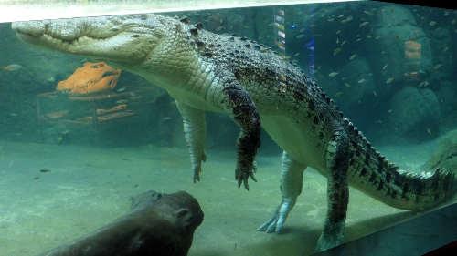 Crocodile aquarium at NT Wildlife Park