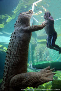 swim with crocodiles