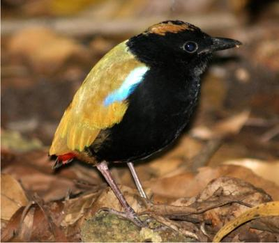 Rainbow Pitta - a very special little bird, endemic to the Top End