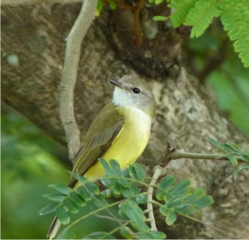 Lemon-bellied Flycatcher - seen at Adelaide River Bridge