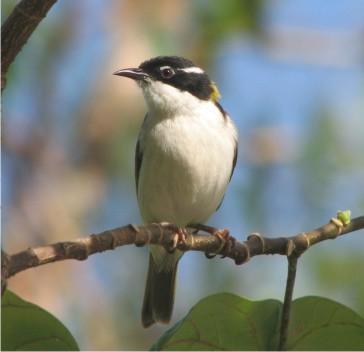 White-throated Honeyeater - a stunning bush bird!
