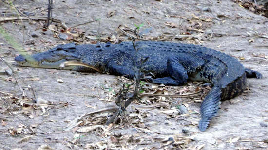 Finniss River Crocodile