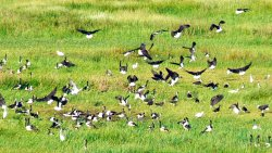 Flock of magpie geese