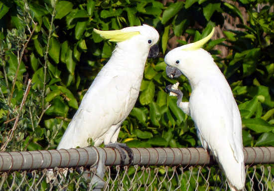 Sulphur Crested Cockatoos