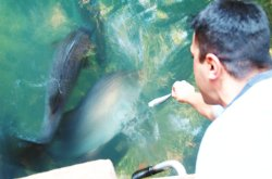 Hand feeding barramundi