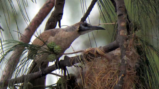 Little Friarbird and nest