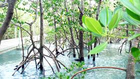 A metal walkway works its way through mangroves