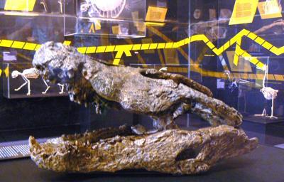 Fossil Crocodile Darwin Museum