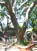 Huge trees provide shade at Nightcliff Markets