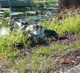 Small croc beside Fogg Dam road